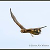 Northern Harrier Juvenile Turning