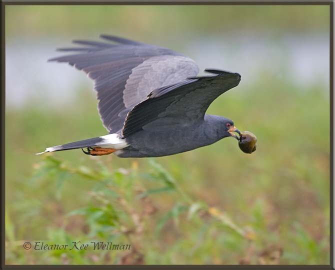 Snail Kite Male with Snail