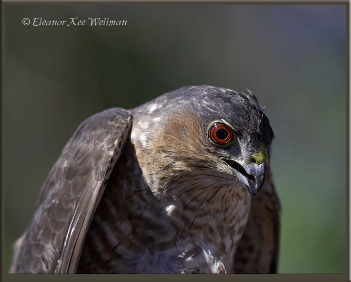 Sharp-shinned Hawk Adult