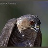 Sharp-shinned Hawk Adult