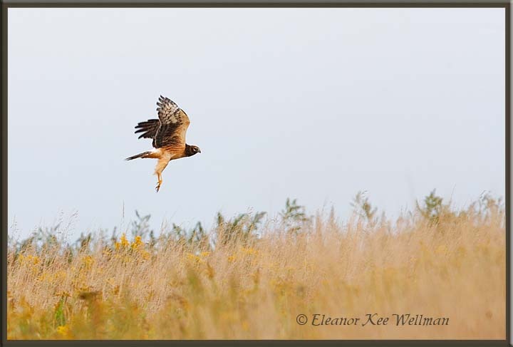 Northern Harrier Lifting Off