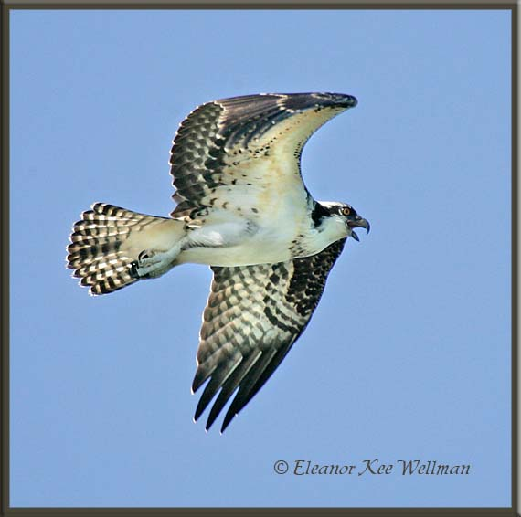 Osprey Fly-by
