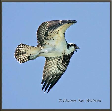 Osprey Fly-by