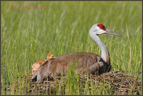 Sandhill Crane chick resting, May 24, 2008.