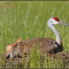 Sandhill Crane chick resting, May 24, 2008.
