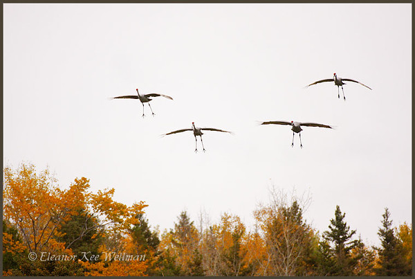 Sandhill Cranes flying into field to feed.