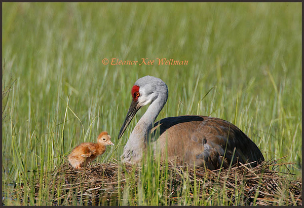 New Sandhill Crane chick, May 24, 2008