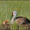 New Sandhill Crane chick, May 24, 2008