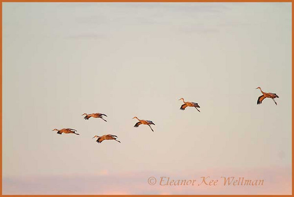 Sandhill Cranes Flying to Fields at Sunrise