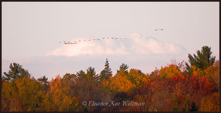 Flock of Sandhill Cranes flying out of roost lake at sunrise.