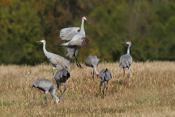 Sandhill Cranes - You Should be Dancing!