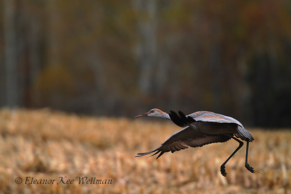 Sandhill Crane, Juvenile, Taking Off