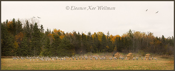 Sandhill Cranes on alert in cut grain field.