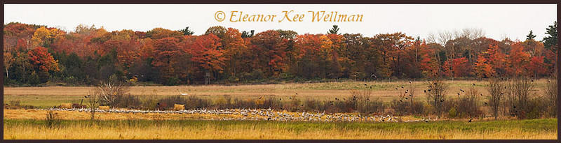 Panorama of three images showing approximately 600 cranes in field.