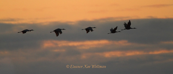 Sandhill Cranes Flying to Roost #1