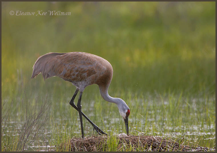 Sandhill Crane tending eggs.  May 23, 2008