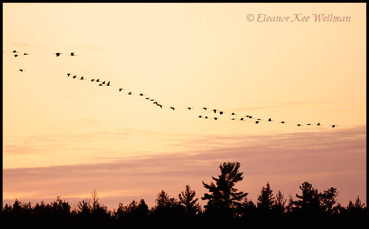 Sandhill Crane flock flying into roost at sunset.