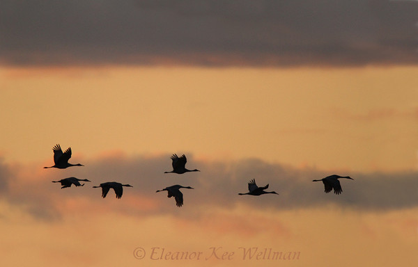 Sandhill Cranes Flying to Roost #2