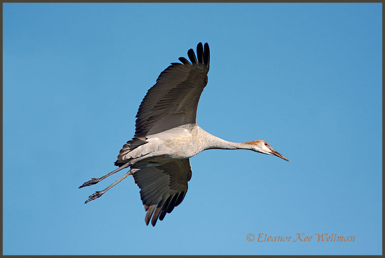 Sandhill Crane juvenile preparing to land.