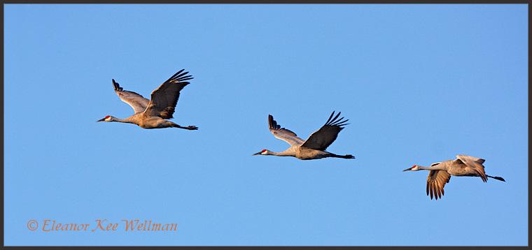 Sandhill Cranes flying by.