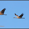 Sandhill Cranes flying by.