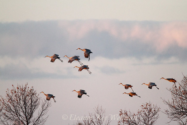 Sandhill Cranes Preparing to Land