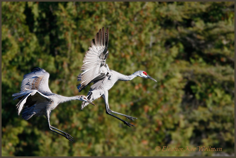 Sandhill Crane adult and juvenile landing in field