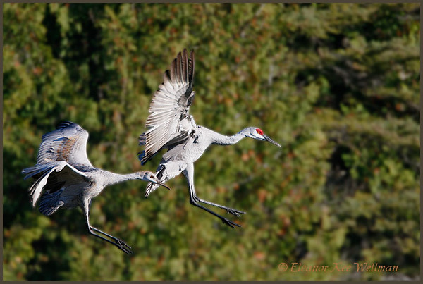 Sandhill Crane adult and juvenile landing in field