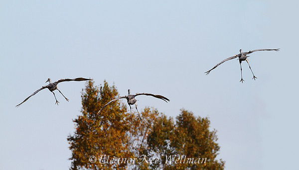 Sandhill Cranes Preparing to Land - Back View