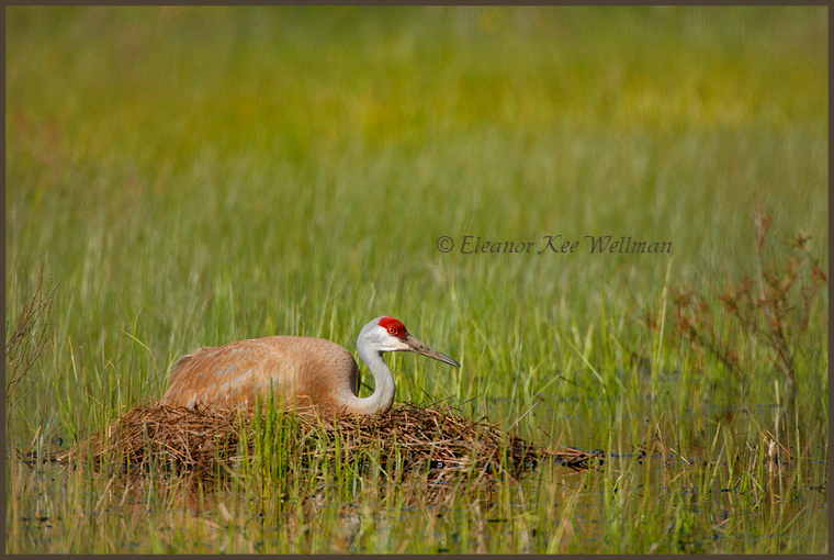 Sandhill Crane on nest, May 24, 2008.