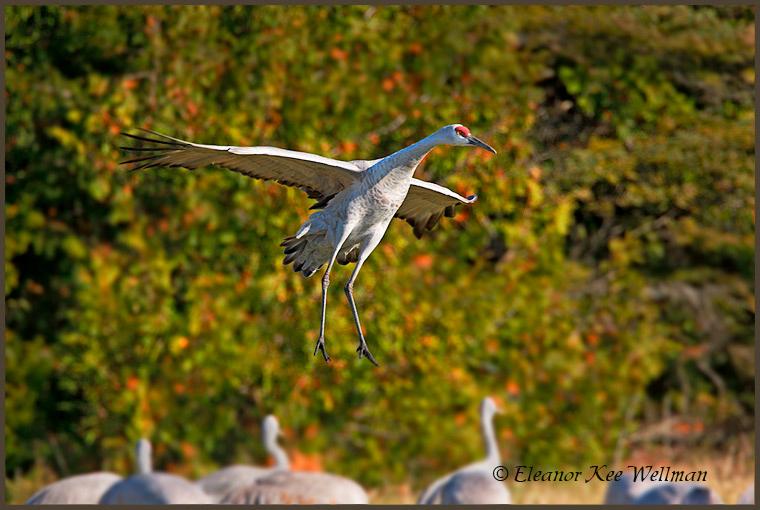 Sandhill Crane landing in field.