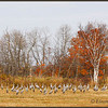 Sandhill Cranes, alert, in cut grain field.