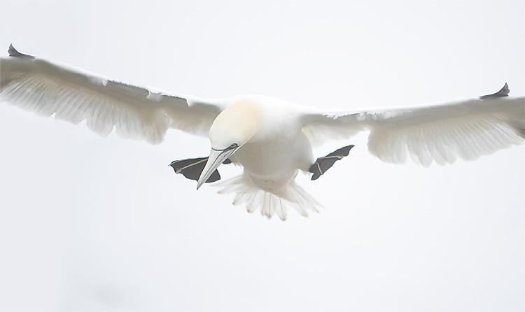 Northern Gannet Flying In to Land, Bonaventure Island, Quebec