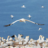 Northern Gannet Over Colony, Bonaventure Island, Quebec