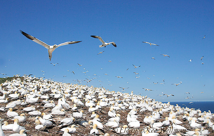 Northern Gannets Over Colony, Bonaventure Island, Quebec