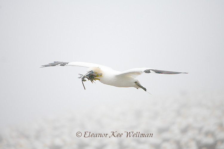 Northern Gannet Flying with Seaweed Over Colony in Fog, Bonaventure Island, Quebec