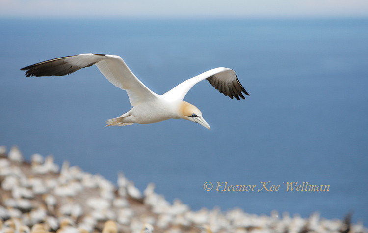 Northern Gannet Flying Over, Bonaventure Island, Quebec