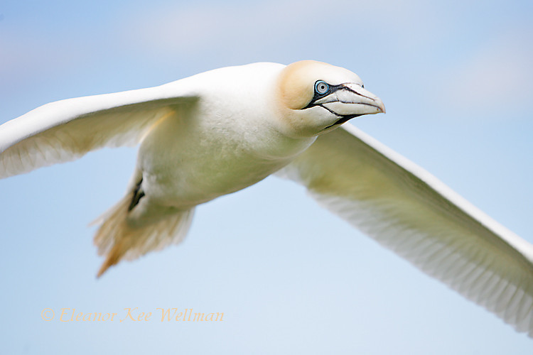 Northern Gannet Fly-by, Close-up, Bonaventure Island, Quebec