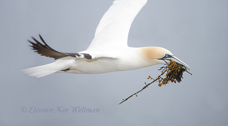 Northern Gannet Flying with Seaweed, Bonaventure Island, Quebec