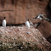 Common Murre on Rock with One Flying Off