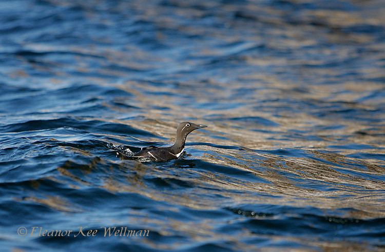 Common Murre, Bridled, On Water, Bonaventure Island, Quebec