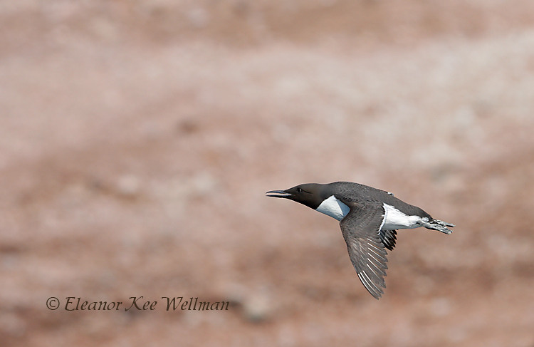 Common Murre Flying Infront of Cliffs, Bonaventure Island, Quebec