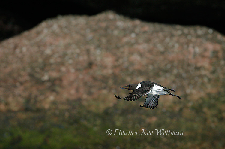 Common Murre Flying by Composite Rock, Bonaventure Island, Quebec
