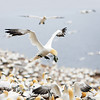 Northern Gannet Preparing to Land in Colony with Grass, Bonaventure Island, Quebec