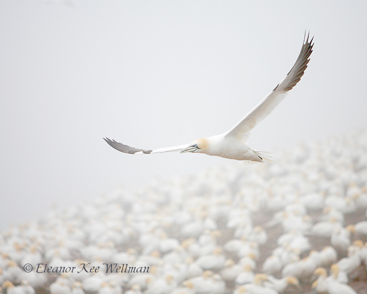 Northern Gannet Flying Over Colony in Fog, Bonaventure Island, Quebec