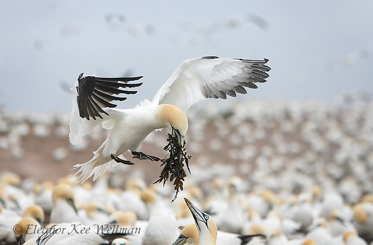 Northern Gannet Landing in Colony with Seaweed, Bonaventure Island, Quebec