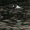 Razorbill Flying Over Dark Water, Bonaventure Island, Quebec