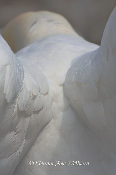 Northern Gannet Abstract, Back.