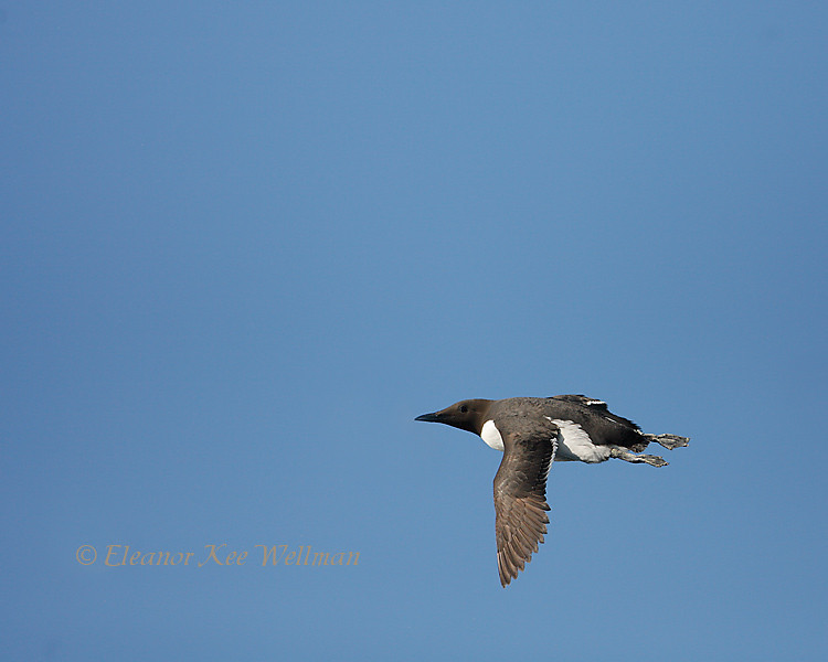 Common Murre Flying By with Feet Out, Bonaventure Island, Quebec