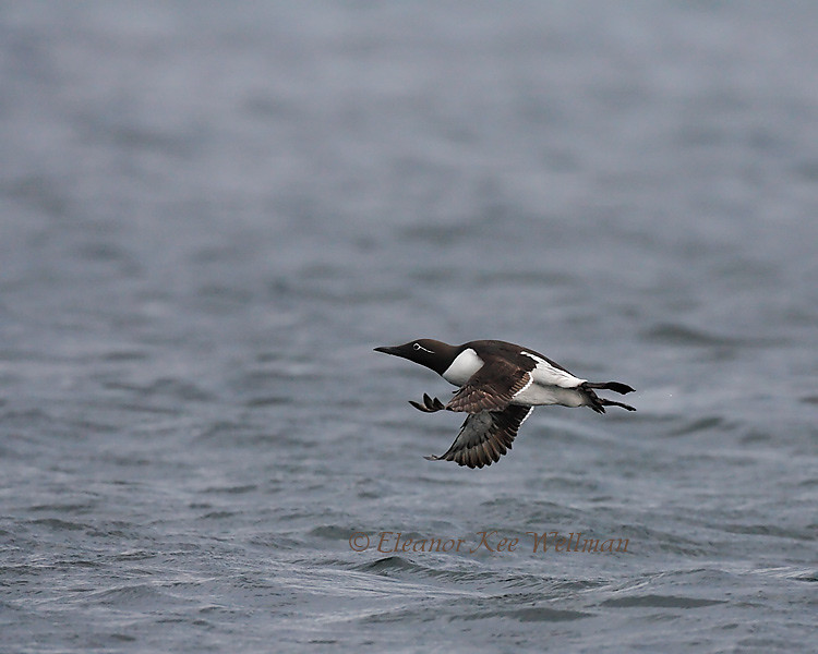 Common Murre, Bridled, Flying Above Water, Bonaventure Island, Quebec